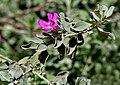 Leucophyllum frutescens (Purple Sage) W IMG 1125.jpg
