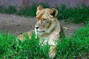 Lioness showing the ruff that sometimes leads to misidentification as a male