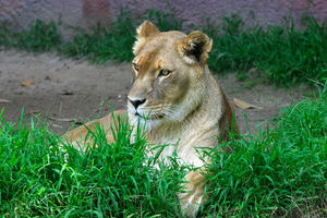 Lion (Panthera leo) at the San Diego zoo