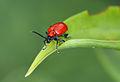 Lilioceris lilii 8834.jpg