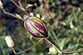 Lilium superbum 6zz.jpg