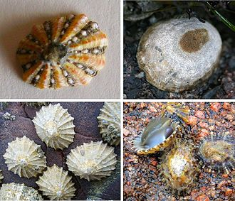 Patellogastropoda - Images of true limpets, shell and live individuals of three species