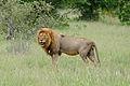 Lion (Panthera leo) (16757912564).jpg