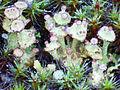 Liquen Cladonia cervicornis subsp. verticillata Habitus 2012-1-08 Robledillo SierraMadrona.jpg
