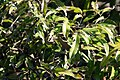 Litchi chinensis 12zz.jpg