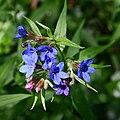 Lithospermum purpurocaeruleum 150509w.JPG