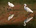 Little Egret (Egretta garzetta)- Breeding plumage in Hyderabad W IMG 8141.jpg