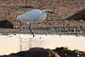 Little Egret at La Rocque Jersey.jpg