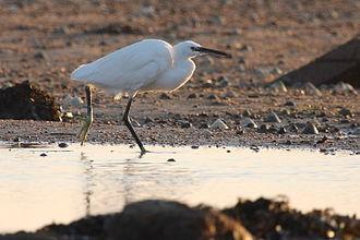 Vingtaine de la Rocque - A little egret on the beach at La Rocque
