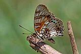 Little commodore (Junonia sophia infracta) underside.jpg