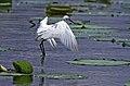 Little egret ചിന്നമുണ്ടി 02.jpg