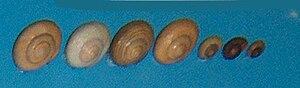 Littorina saxatilis - Image: Littorina saxatilis 001