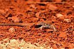 Lizard and Lunch - Monument Valley (16558913623).jpg