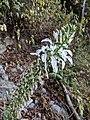 Lobelia nicotianifolia 28.jpg