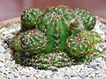 Lobivia arachnacantha (Echinopsis ancistrophora ssp. arachnacantha) 1.JPG
