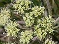 Lomatium macrocarpum (3522165764).jpg
