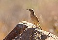 Long-billed pipit, Anthus similis, at Devon Grasslands, Gauteng, South Africa (48233267797).jpg