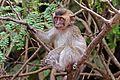 Long-tailed macaque (Macaca fascicularis) juvenile.jpg