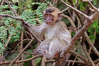 Crab-eating macaque - Juvenile Borneo