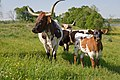 Longhorn cattle grazing. (24480657624).jpg