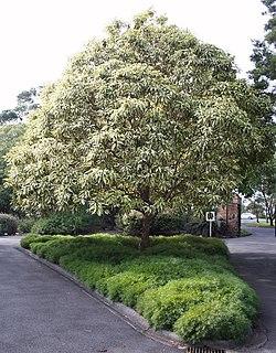 Acacia cognata – Wikipédia, a enciclopédia livre