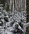 Luminen metsä.JPG