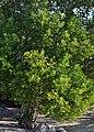 Lumnit racem 110902-17249 H bal.jpg