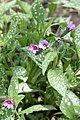 Lungwort (Pulmonaria) Majeste (3545685101).jpg