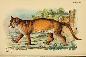 Puma / Felis concolor