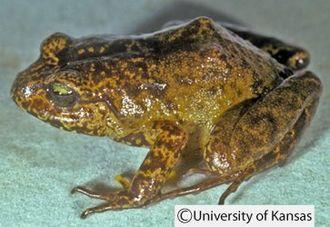 Lynchius - Lynchius flavomaculatus