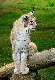Ilves Wiki