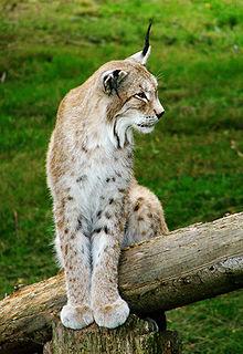 La chasse au Lynx dans LYNX 220px-Lynx_de_Sib%C3%A9rie_Thoiry_1981