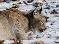 Lynx lynx, Luchs 06.JPG