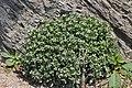 Lysimachia mauritiana in Suga Island.jpg
