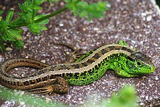 Amphibia in the 10th edition of Systema Naturae - The Sand Lizard was named Lacerta agilis in 1758.