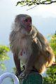 Macaca mulatta - Shimla 2014-05-07 1402.JPG