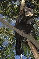 Macaco prego em Tibaji 260708 REFON 1.JPG