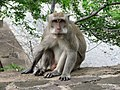 Macaque à longue queue au temple de Pura Pulaki (Nord de Bali) - panoramio.jpg