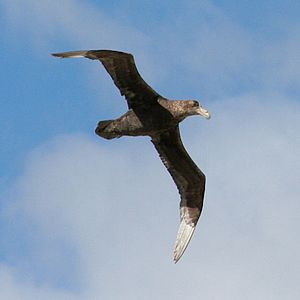 Southern giant petrel - Flying over East Falkland