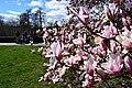 Magnolia de la rue de la Croix-Rouge (1).jpg