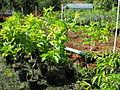 Magnolia x alba at nursery.jpg