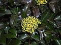 Mahonia aquifolium 2016-04-19 8158.jpg