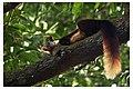 Malabar Giant Suirrel.jpg