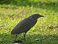 Malayan Night Heron 2589.jpg