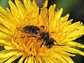 Male solitary bee (Andrena spp) on a dandelion, Sandy, Bedfordshire (16923393429).jpg