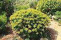 Malta - Mellieha - Triq Ghajn Tuffieha(Mgarr) - Gaia Peace Grove - Euphorbia dendroides 01 ies.jpg