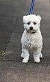 Maltese dog (6225570341).jpg