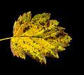 Malus Florentina leaf in autumn - Italienischer Zierapfel Blatt im Herbst - 01.jpg