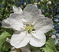 Malus in flower Яблоня цветет в Санкт Петербурге 02.jpg