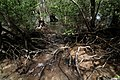 Mangrove Base, Olango Island Sanctuary.jpg